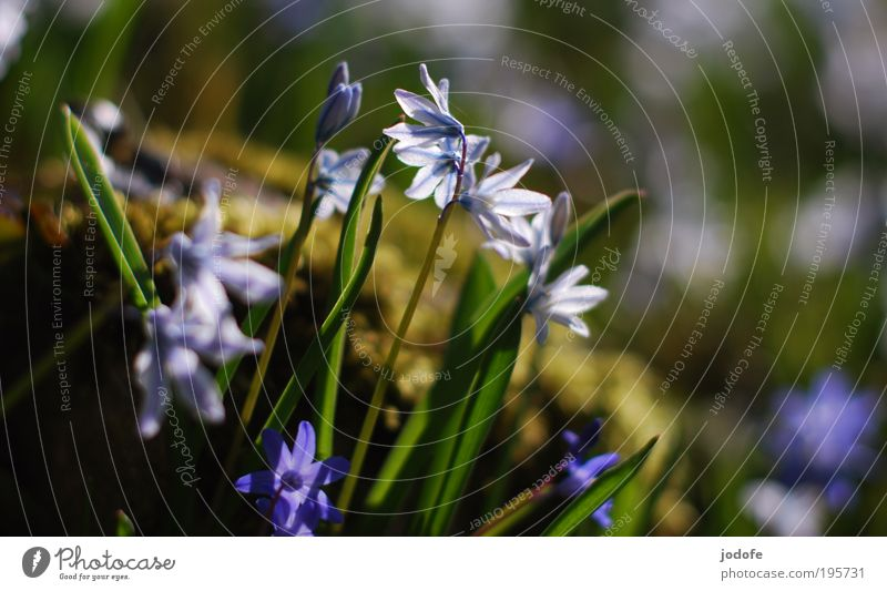 spring Nature Plant Sunlight Beautiful weather Flower Moss Blossom Foliage plant Park Esthetic Environmental protection Glittering Pure White Blue Bell
