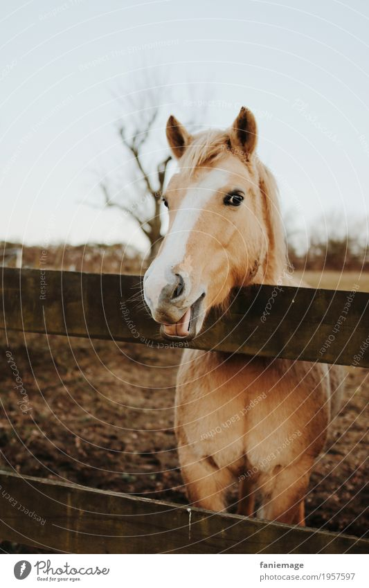 Nature Beautiful White Animal Funny Laughter Smiling Friendliness Pasture Horse Fence Pet Animal face Grimace Tongue Feeding