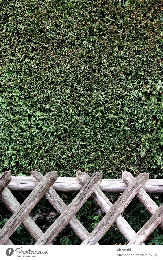 horticulture Environment Nature Plant Bushes Foliage plant Cypress Garden Park Wood Crucifix Clean Thorny Green Obedient Conscientiously Disciplined Orderliness