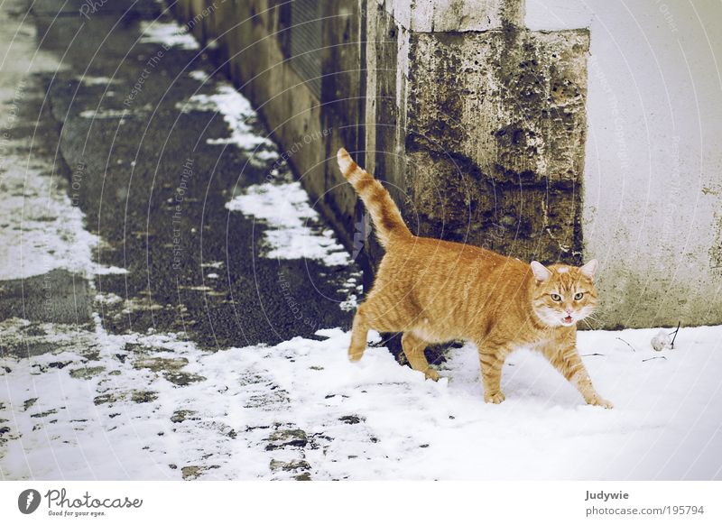 Meow! Elegant Winter Ice Frost Snow Town Old town Manmade structures Building Red-haired Animal Pet Cat Animal face Pelt Observe Going Looking Brash Free