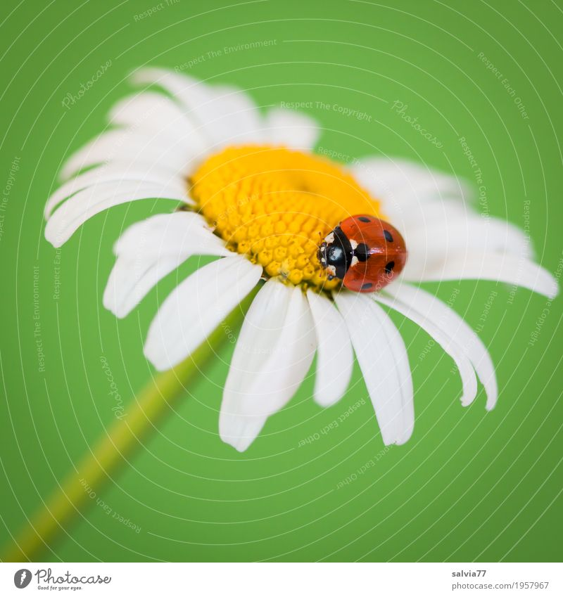 Good luck. Harmonious Well-being Contentment Senses Fragrance Valentine's Day Mother's Day Spring Flower Marguerite Animal Beetle Ladybird Seven-spot ladybird