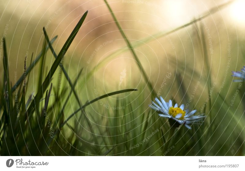 Flower Green Plant Meadow Grass Environment Perspective Daisy Grassland Joy Anticipation Spring fever Nature Habitat Grass green Grass meadow