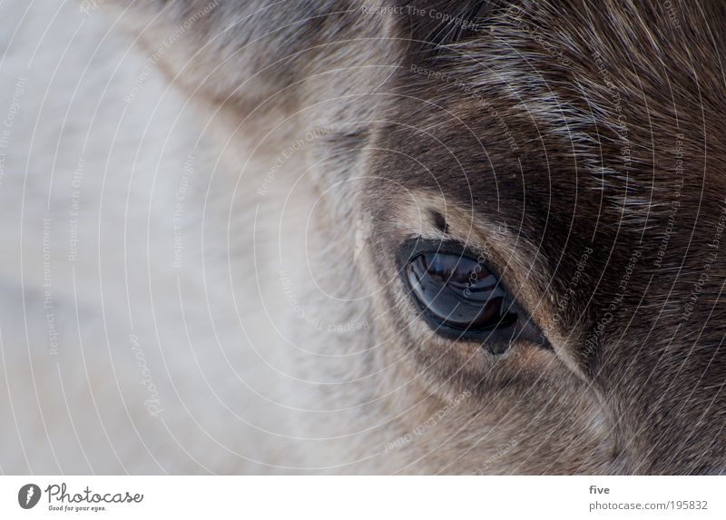 reindeer Head Hair and hairstyles Nature Animal Reindeer Feeding Friendliness Happiness Bright Beautiful Wild Contentment Sympathy Pelt Lapland Finland