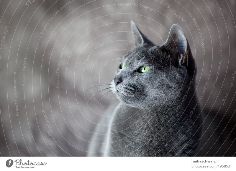 Bonnie Animal Pet Cat Animal face Pelt 1 Esthetic Curiosity Cute Gray Green Black Silver Elegant cat picture cat photo russian blue Russian Blue purebred cat