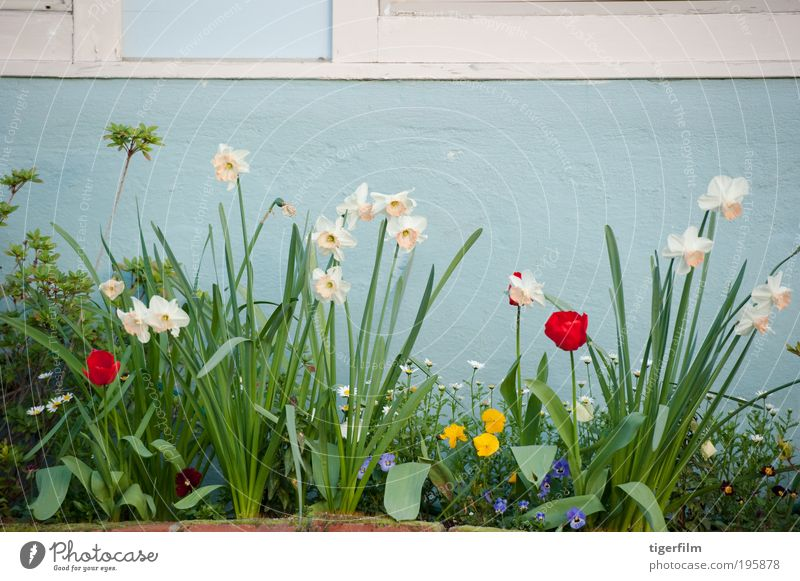 spring flowers against a sky blue wall Sky White Flower Blue Plant Red Leaf House (Residential Structure) Wall (building) Spring Arrangement Stalk Tulip Daisy