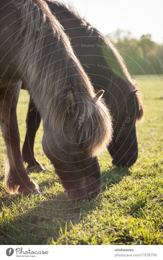 Grazing Icelandic Horses in sunlight Ride Vacation & Travel Summer Nature Landscape Beautiful weather Grass Meadow Animal 2 Pair of animals Eating To feed