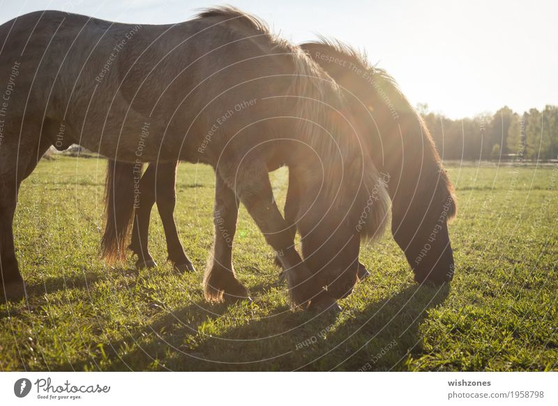 Two grazing Icelandic Horses on a green meadow in sunlight Leisure and hobbies Ride Vacation & Travel Summer Summer vacation Equestrian sports Nature Sunlight