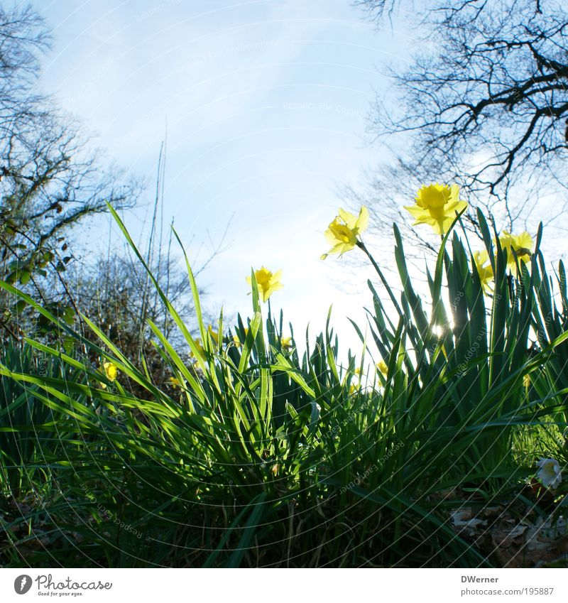 daffodils or daffodils! Lifestyle Fragrance Environment Nature Landscape Plant Air Sky Cloudless sky Sun Sunlight Spring Summer Climate Beautiful weather Flower