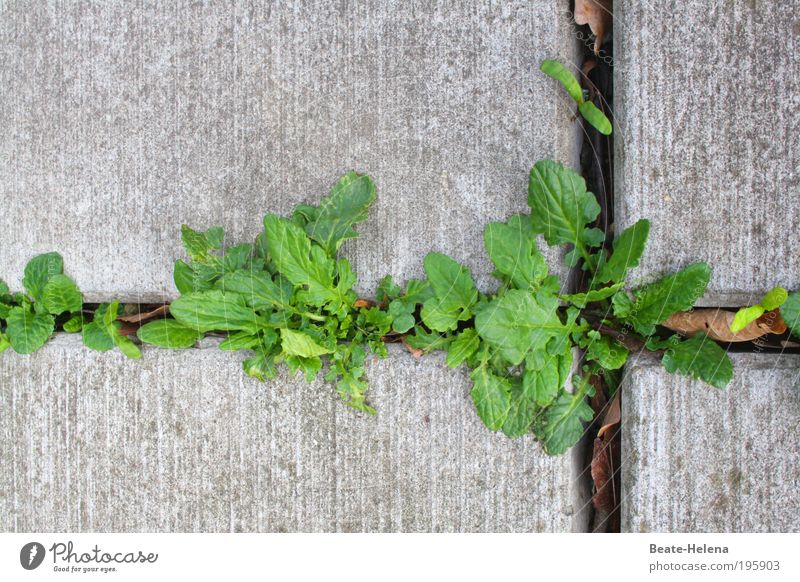 Life in concrete Spring Plant Leaf Foliage plant Wall (barrier) Wall (building) Fight Growth Esthetic Firm Fresh Natural Above Strong Gray Green Power