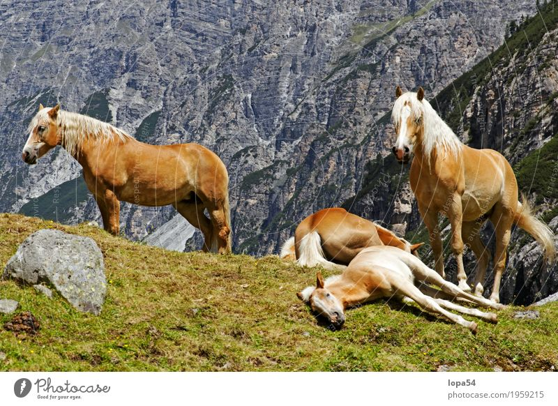Resting Haflinger Animal Farm animal Horse Foal 4 Group of animals Herd Baby animal Animal family Lie Sleep Stand Large Beautiful Brown White Contentment