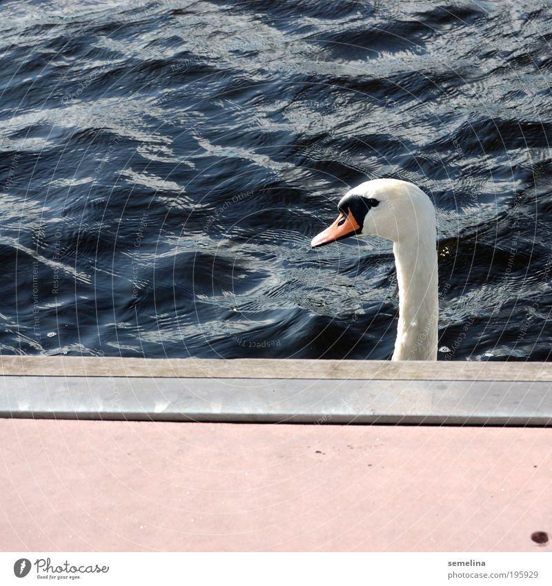 swans, swans, ge-schwant Water Waves Ocean Animal Swan Sharp-edged Blue Pink White Cool (slang) Surprise Serene Footbridge Neck Ignore Looking away Colour photo