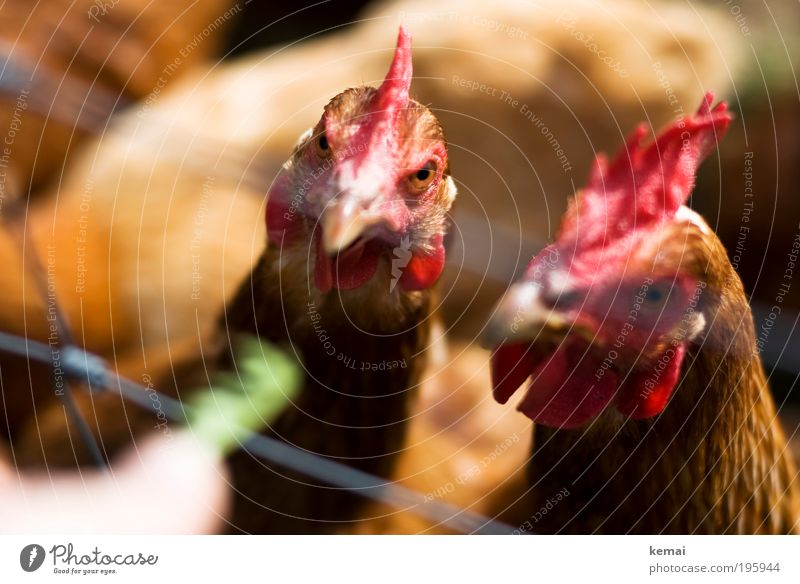 Green Red Eyes Animal Brown Wait Pair of animals Group of animals Animal face Curiosity Appetite Watchfulness To feed Expectation Barn fowl Feeding