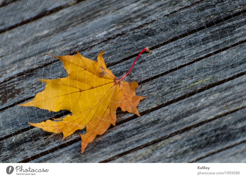 It will be autumn... Thanksgiving Environment Nature Autumn Leaf Maple leaf Loneliness Death Decline Transience Change Seasons Holiday season Yellow Wood