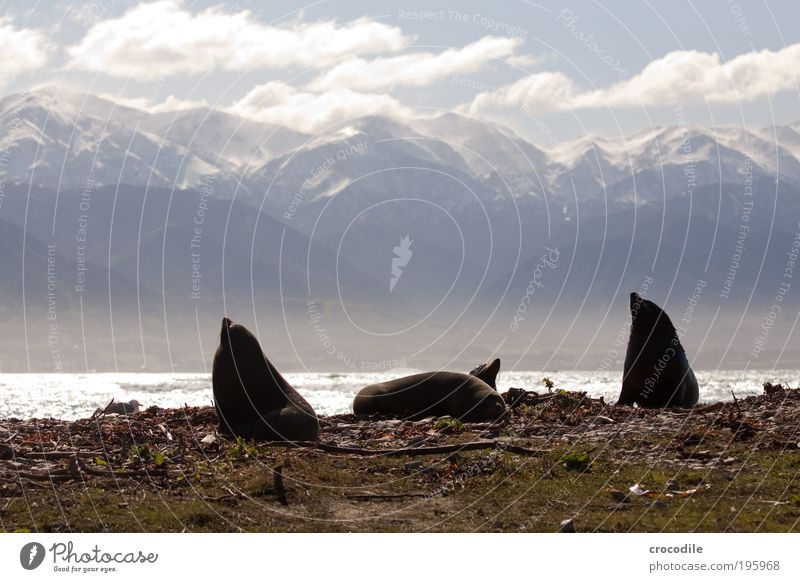 NZ Fur Seal Environment Nature Landscape Clouds Sunlight Rock Alps Mountain Snowcapped peak Waves Coast Animal Wild animal Seals Seal colony 4 Group of animals