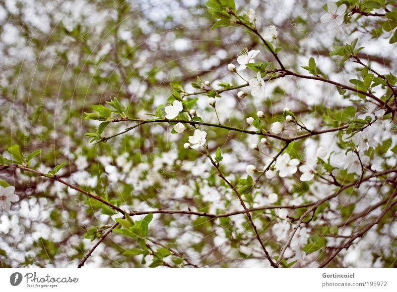 Nature White Green Beautiful Plant Leaf Environment Spring Blossom Park Growth Happiness Bushes Seasons Joie de vivre (Vitality) Fragrance
