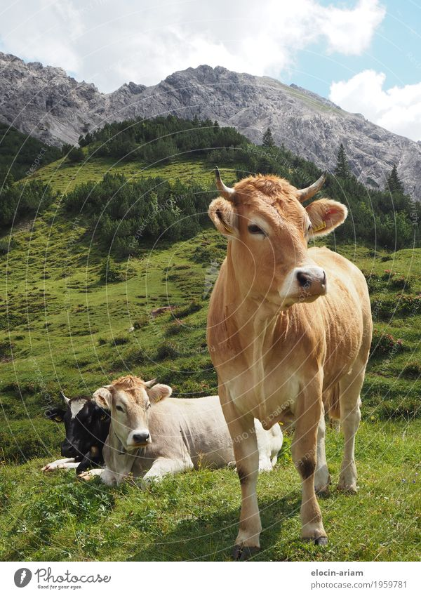Many cows make trouble Trip Summer Mountain Hiking Nature Sky Beautiful weather Grass Field Animal Cow 3 Discover Relaxation Eating Stand Authentic