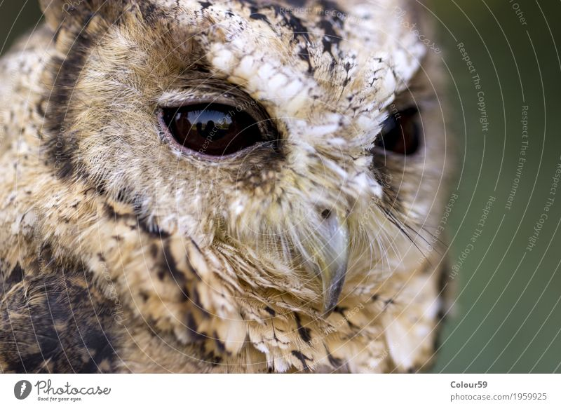 Hindu Scops Owl Animal Wild animal Bird Animal face 1 Dark Curiosity Brown Beautiful Watchfulness Uniqueness Concentrate Collared Scops Owl Otus bakkamoena