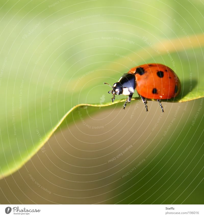 Ladybird on the way Beetle lucky beetle Good luck charm symbol of luck Congratulations Happy Fat Ease beetle legs Crawl leaf margin Cute Red Uniqueness
