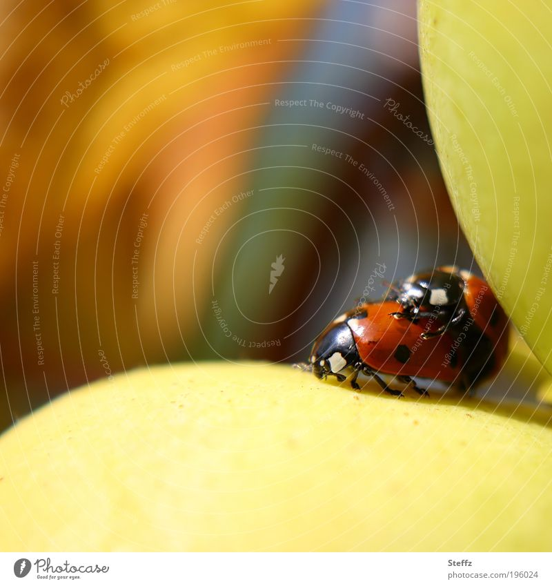Nature Colour Animal Small Happy Natural Pair of animals Joie de vivre (Vitality) Living thing Fruit Autumnal Beetle Autumnal colours Ladybird Early fall Valentine's Day