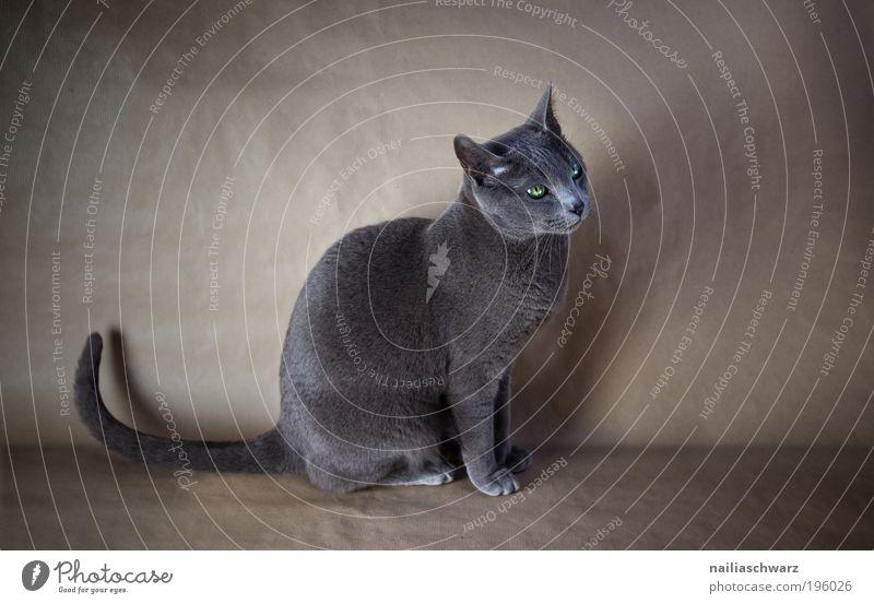 Blue Animal Cat Elegant Sit Esthetic Cute Russia Pet Land-based carnivore