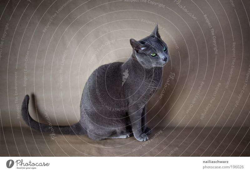 Bonnie Animal Pet Cat 1 Sit Esthetic Elegant Cute Russia Blue russian blue purebred cat Purebred Colour photo Subdued colour Interior shot Studio shot Deserted