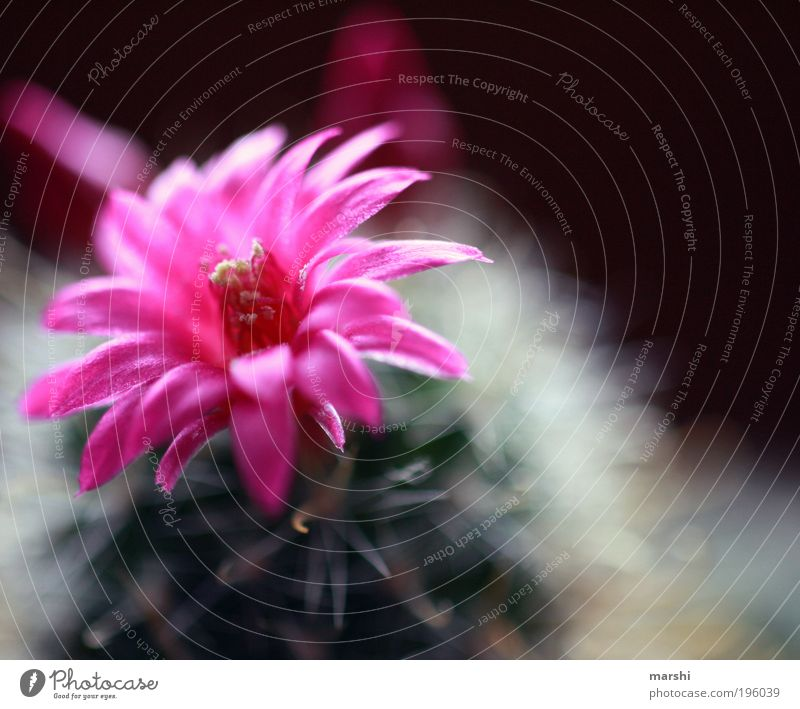 it blooms... Nature Plant Flower Cactus Blossom Exotic Growth Green Pink Blur Small Thorny Soft Blossoming Colour photo Exterior shot