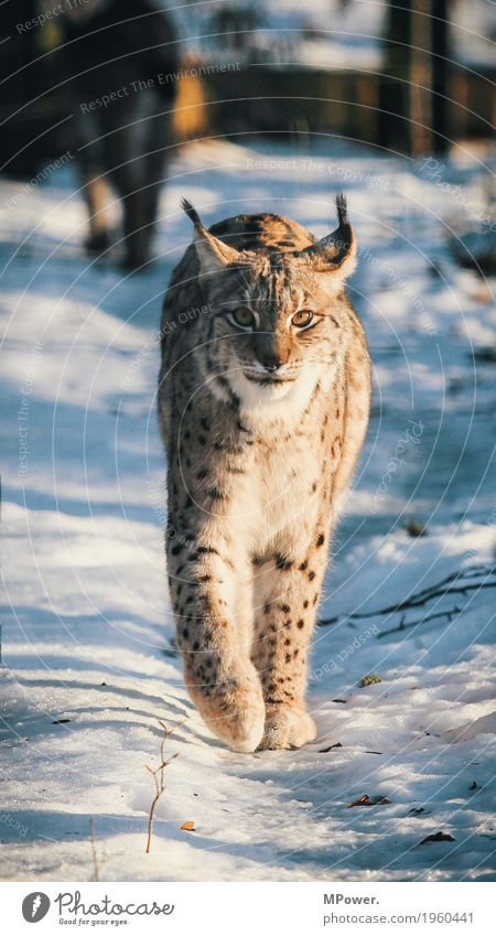 Cat Beautiful Animal Winter Forest Paw Land-based carnivore Game park Lynx Wild cat