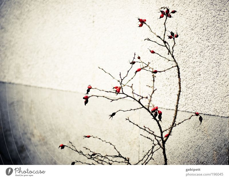 Backyard idyll or the infinite desolation of being Environment Nature Winter Plant Bushes Blossom Agricultural crop Wild plant Rose hip Wall (barrier)