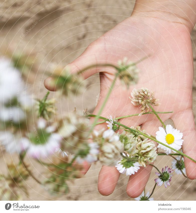 Capture spring Hand Fingers Plant Sand Spring Summer Blossom Spring fever Calm Infancy Daisy Catch Flower necklace thread chain Throw Line on the hand Clover