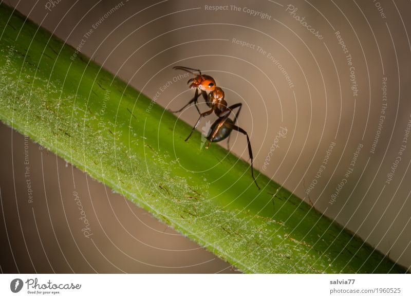 Stay firm Nature Animal Plant Stalk Forest Ant Red wood ant Insect 1 Crawl Small Brown Green Mobility Threaten Menacing Protective Defensive Colour photo Detail