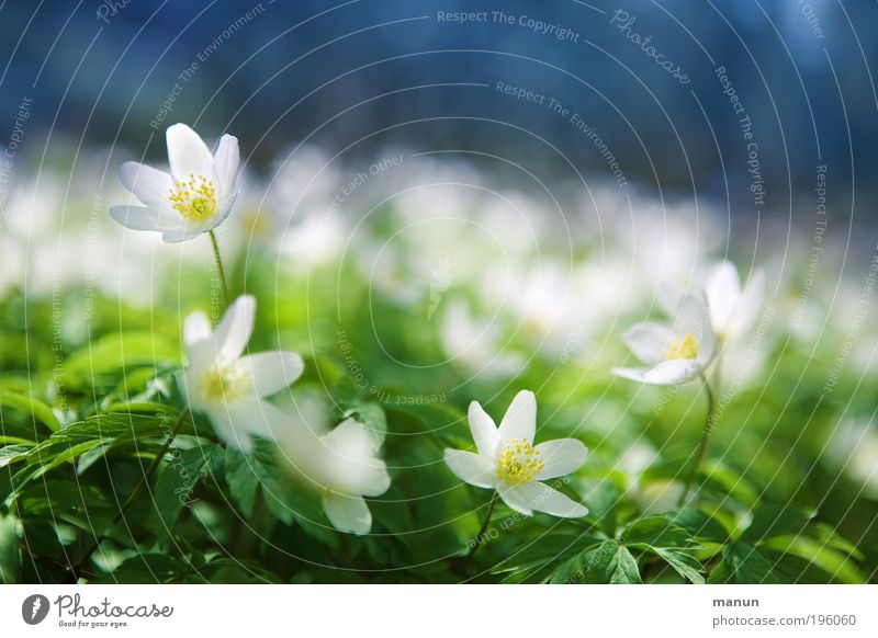 blue-white green Relaxation Fragrance Trip Mother's Day Environment Nature Spring Beautiful weather Flower Blossom Wild plant Wood anemone Anemone Forest flower