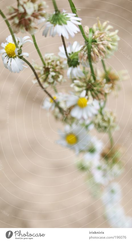 NatureJewellery Chain Flower necklace Daisy Clover Clover blossom Exterior shot Blossom Chamomile Bound put on Beautiful Romance Blur Plant Childhood memory