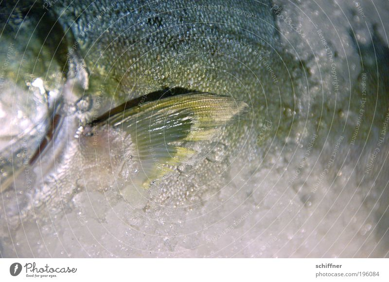 Bigmouth on the rocks North Sea Animal Fish Lie Cold Slimy Nutrition Scales Fin Wave Trout Delicious Gourmet Fresh Gill Good Friday Close-up