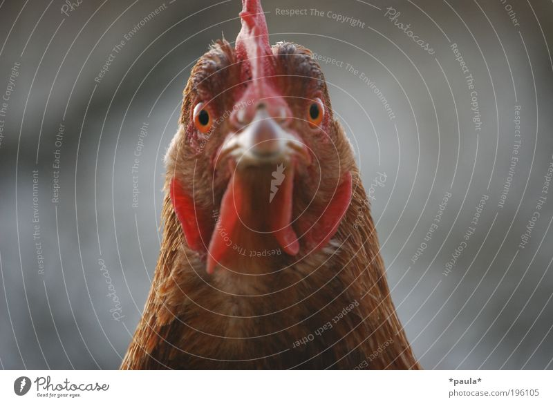 Red Animal Eyes Head Brown Bird Power Exceptional Threat Observe Curiosity Near Watchfulness Willpower Barn fowl Identity