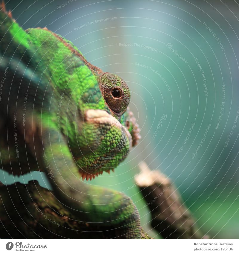grouchy Animal Chameleon Reptiles Terrarium 1 Observe Walking Looking Near Curiosity Blue Brown Green Love of animals Discover Eyes Legs Head Branch Muzzle