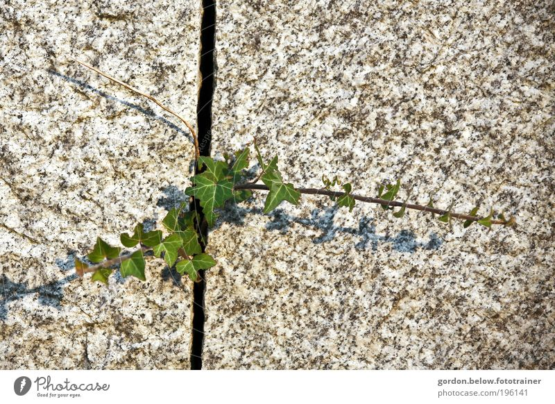 Nature strikes back! Environment Spring Plant Bushes Ivy Foliage plant Rock Wall (barrier) Wall (building) Stone Success Natural Green Power Effort Colour photo