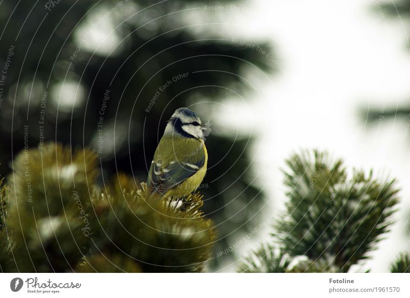 opera singer Environment Nature Plant Animal Winter Tree Wild animal Bird Animal face Wing 1 Free Small Near Natural Yellow Green White Tit mouse Sing Chirping