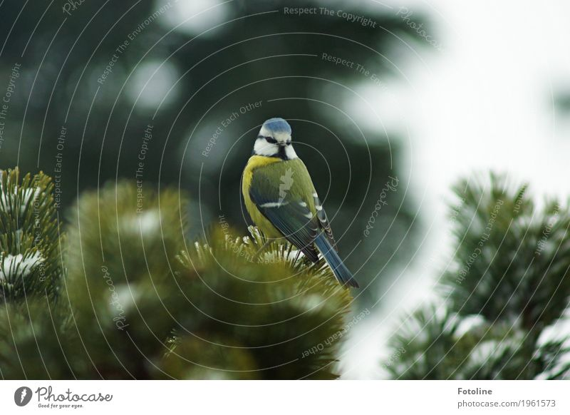 Not a grain somewhere, is it? Environment Nature Plant Animal Winter Tree Bird Animal face Wing 1 Free Bright Small Natural Blue Green White Tit mouse