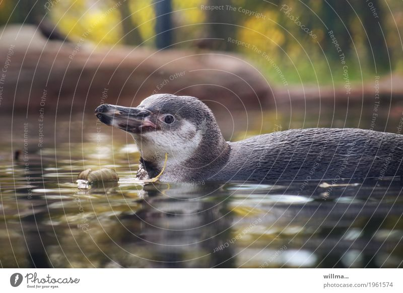 Hey! Hey! Hey! Animal Wild animal Penguin Humboldt Penguin Swimming & Bathing Love of animals Baby animal Beak Colour photo Exterior shot Animal portrait