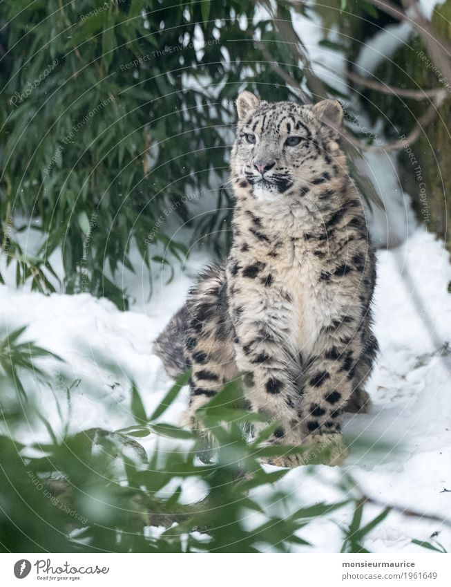 Snow leopard at Neunkircher Zoo Wild animal Cat 1 Animal Baby animal Sit Exceptional Threat Elegant Love of animals Discover big cat Panther Colour photo