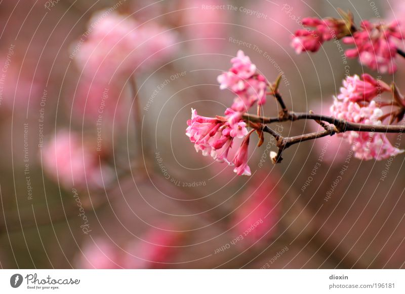 Recently in the park Environment Nature Plant Spring Tree Bushes Blossom Park Blossoming Fragrance Natural Beautiful Pink Spring fever Life Branch Colour photo