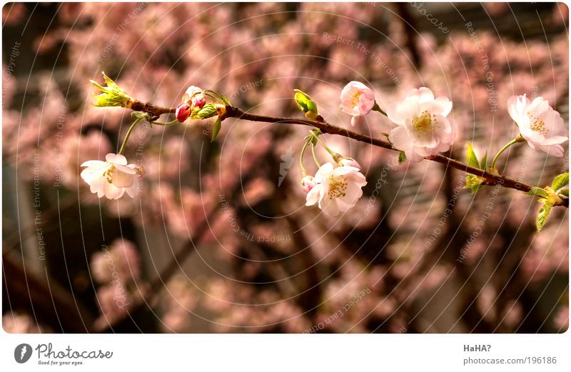 Gleaming Spring Nature Plant Sunlight Beautiful weather Tree Blossom cherry blossom Brown Green Pink Colour photo Multicoloured Exterior shot Close-up Deserted