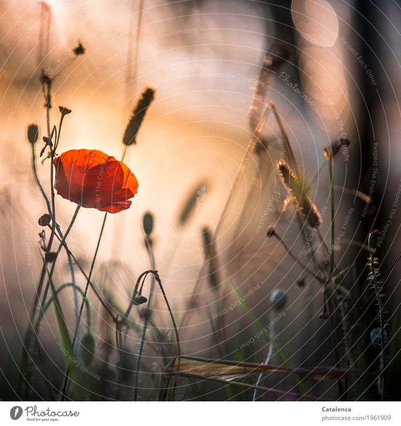 Mohntag again Nature Plant Sky Sunrise Sunset Summer Beautiful weather Corn poppy Meadow Blossoming Illuminate Esthetic Brown Green Orange Black Moody Happiness