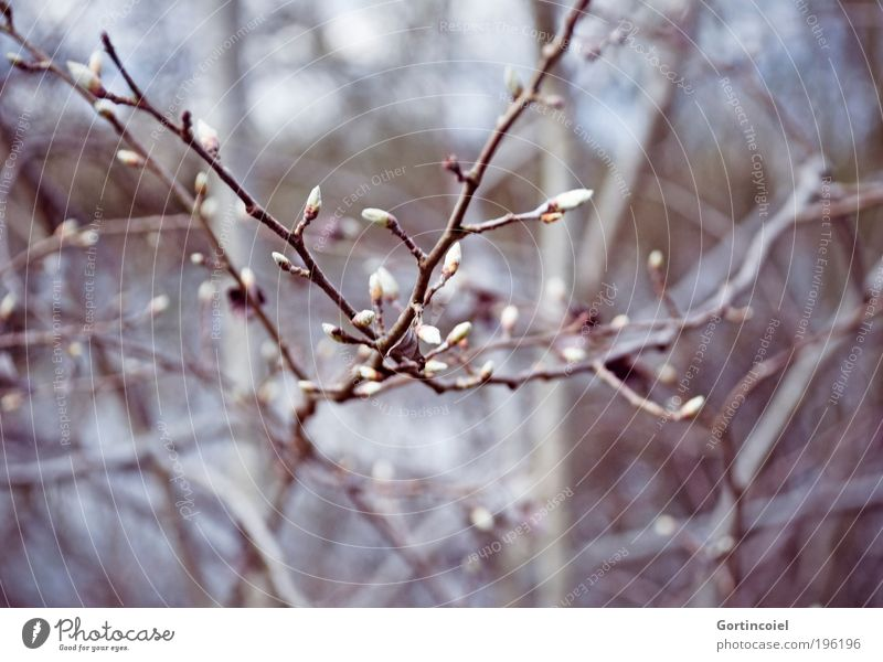 Looks like Winter Environment Nature Plant Spring Tree Bushes Blossom Park Forest Cold Beautiful Gray Violet Spring day Bud Twigs and branches Wake up Growth