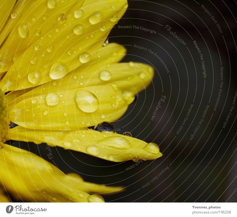 Nature Water Flower Plant Yellow Autumn Blossom Spring Happy Rain Contentment Glittering Weather Drops of water Wet Gold