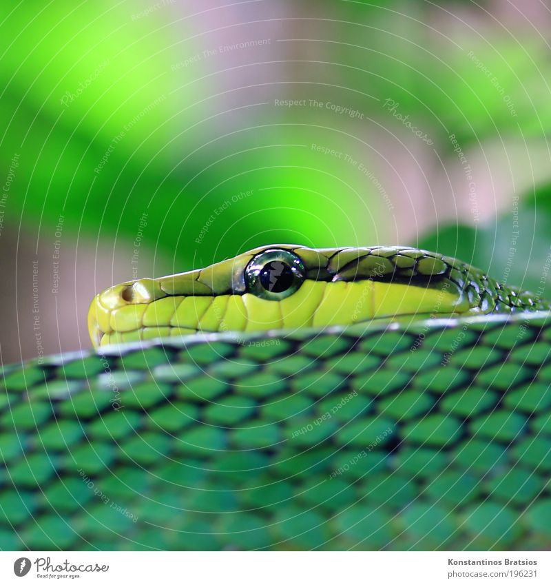 Tree Green Black Eyes Animal Head Gray Fear Bushes Near Lie Observe Point Wild animal Smoothness Snake