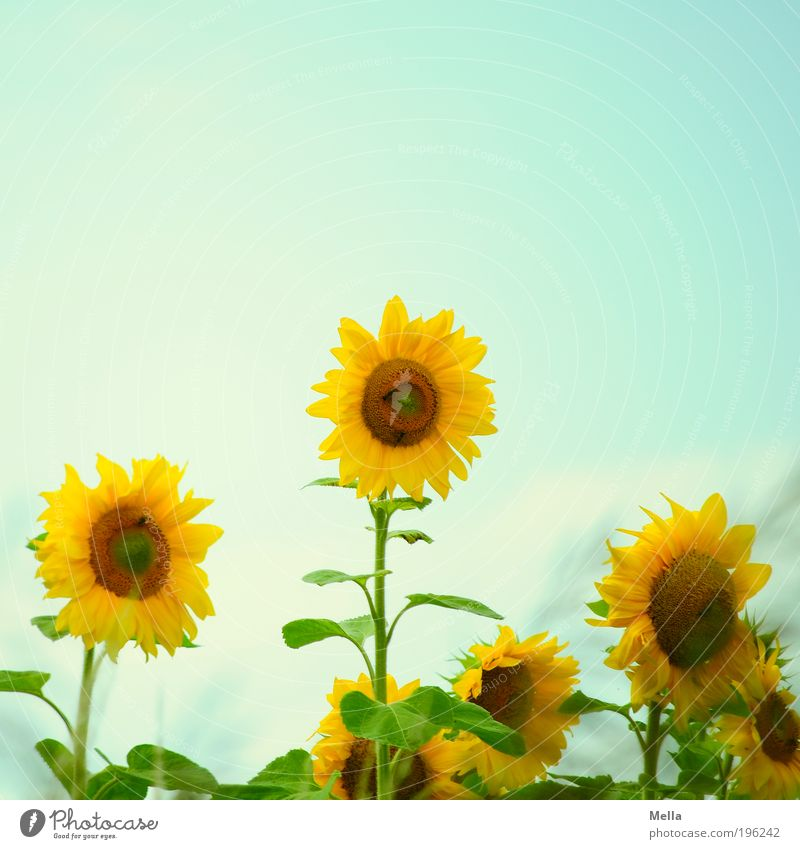 Nature Flower Blue Plant Summer Yellow Blossom Environment Happiness Growth Retro Joie de vivre (Vitality) Natural Blossoming Sunflower Positive