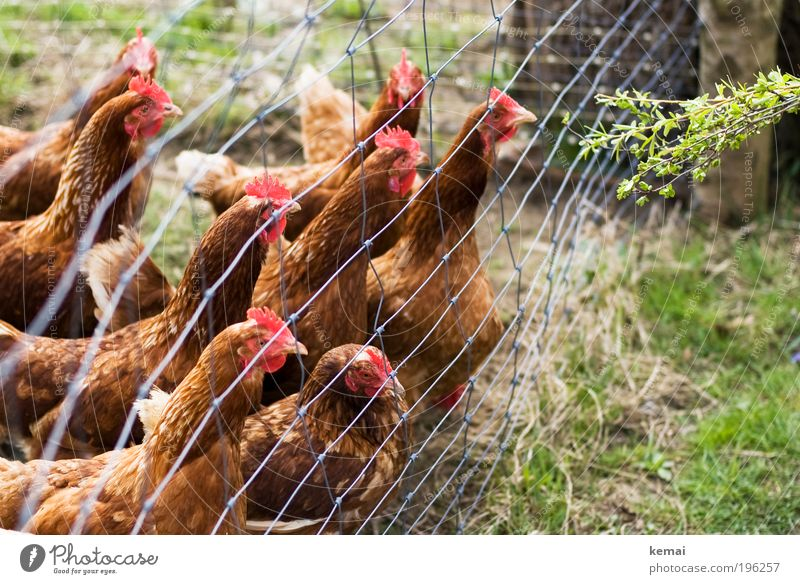 hunger chickens Nature Earth Spring Beautiful weather Plant Grass Bushes Foliage plant Wild plant Village Fence Animal Farm animal Animal face Wing Barn fowl