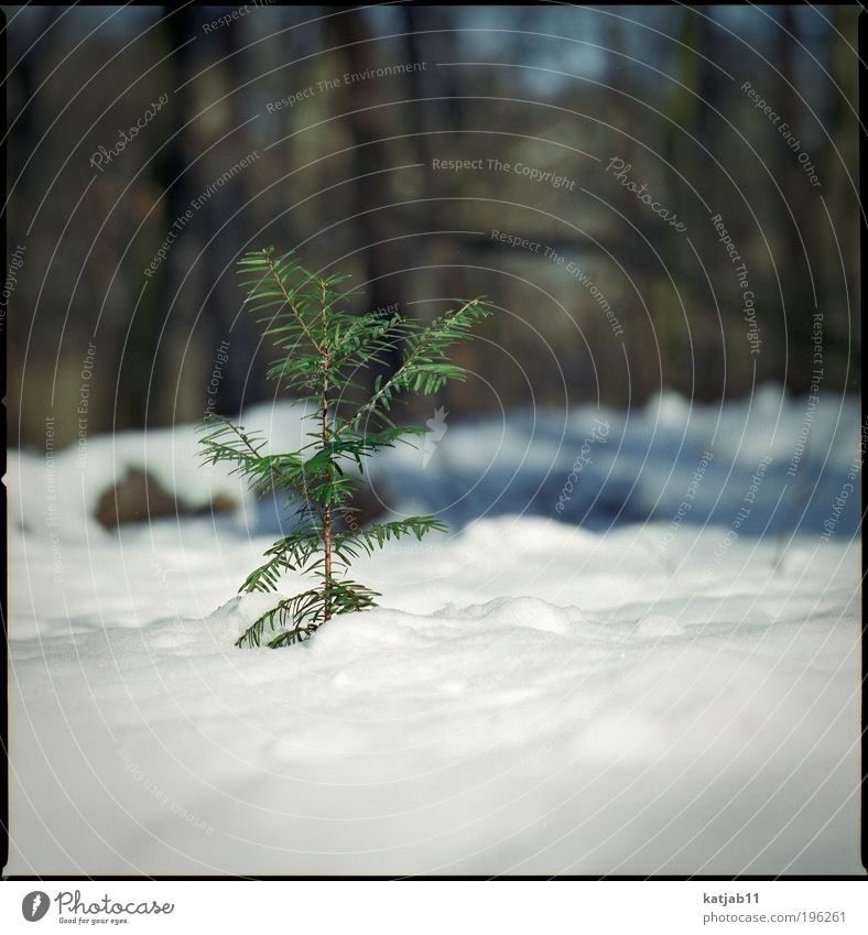 snowtree Nature Plant Winter Snow Tree Foliage plant Forest Thin Green White Fir tree Medium format Colour photo Exterior shot Deserted Copy Space bottom Day