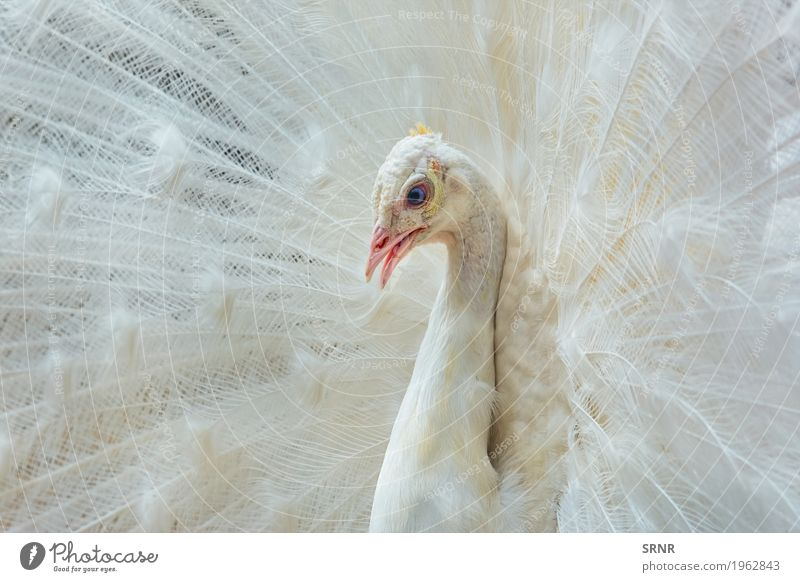 Portrait of White Peacock Animal Bird 1 Wild avian avifauna ceremony courtship ritual covert feathers extravagant tail Feather pavo peafowl plumage